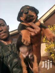 Baby Male Purebred Rottweiler   Dogs & Puppies for sale in Greater Accra, Asylum Down