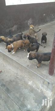 Baby Female Purebred Boerboel | Dogs & Puppies for sale in Greater Accra, Tesano
