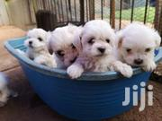 Miniature Maltese Puppies For Sale At A Cool Price   Dogs & Puppies for sale in Greater Accra, East Legon (Okponglo)
