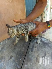 Young Male Purebred Bengal Cats | Cats & Kittens for sale in Greater Accra, Ga West Municipal