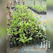 Quality Cashew Seedlings For Sale With Free Field Management Advice | Feeds, Supplements & Seeds for sale in Brong Ahafo, Wenchi Municipal