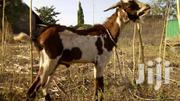 Goats For Sale | Livestock & Poultry for sale in Greater Accra, Tema Metropolitan