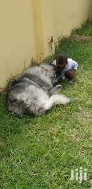 Adult Female Purebred Caucasian Shepherd Dog | Dogs & Puppies for sale in Greater Accra, Dansoman