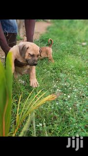 Baby Female Purebred Boerboel | Dogs & Puppies for sale in Greater Accra, Ga West Municipal