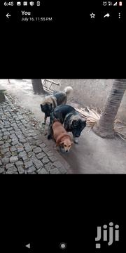 Baby Male Mixed Breed Caucasian Shepherd Dog | Dogs & Puppies for sale in Greater Accra, Airport Residential Area