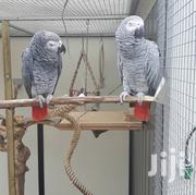 Male And Female African Grey Parrots | Birds for sale in Greater Accra, Accra new Town