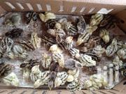 Quail Chicks | Livestock & Poultry for sale in Central Region, Komenda/Edina/Eguafo/Abirem Municipal