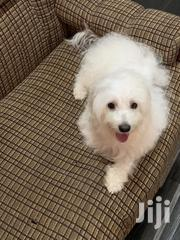 Young Male Purebred Maltese | Dogs & Puppies for sale in Greater Accra, Adenta Municipal