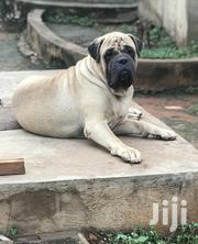 Adult Male Purebred Bullmastiff   Dogs & Puppies for sale in Greater Accra, Bubuashie