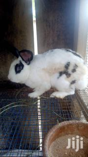 Healthy Rabbits | Other Animals for sale in Greater Accra, Odorkor