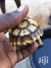 Sulcata Tortoise | Reptiles for sale in Greater Accra, Ga South Municipal