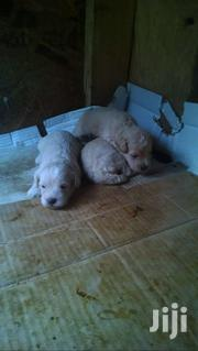Poodle For Sale 1500 Negotiable | Dogs & Puppies for sale in Greater Accra, Dzorwulu