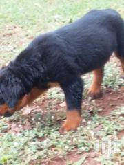 Young Female Purebred Rottweiler | Dogs & Puppies for sale in Greater Accra, Burma Camp