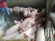 Pigs For Sale At Arthur's Farm | Livestock & Poultry for sale in Eastern Region, Akuapim South Municipal