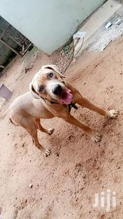 Young Male Purebred Dogue de Bordeaux | Dogs & Puppies for sale in Greater Accra, Achimota