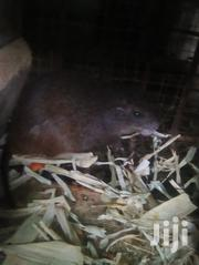 Male And Female Grasscutter | Other Animals for sale in Central Region, Awutu-Senya