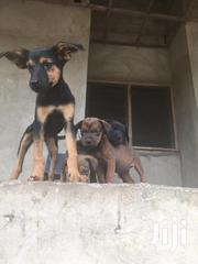 Baby Male Mixed Breed | Dogs & Puppies for sale in Greater Accra, Accra Metropolitan