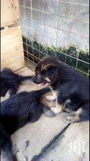 Baby Male Purebred German Shepherd Dog | Dogs & Puppies for sale in Greater Accra, Accra Metropolitan