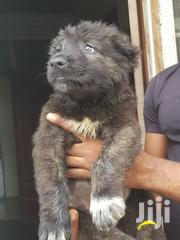 Baby Male Purebred Caucasian Shepherd Dog | Dogs & Puppies for sale in Greater Accra, Accra Metropolitan