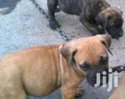 Baby Male Purebred Boerboel | Dogs & Puppies for sale in Greater Accra, Teshie-Nungua Estates