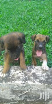 Baby Female Mixed Breed Boerboel | Dogs & Puppies for sale in Greater Accra, Airport Residential Area