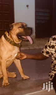 Adult Male Purebred Boerboel | Dogs & Puppies for sale in Greater Accra, Adenta Municipal