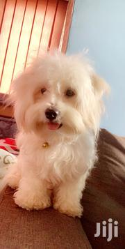 Adult Male Purebred Maltese | Dogs & Puppies for sale in Greater Accra, East Legon