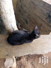Adult Female Purebred | Cats & Kittens for sale in Ashanti, Mampong Municipal