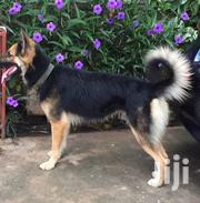 Adult Male Purebred German Shepherd Dog | Dogs & Puppies for sale in Greater Accra, Mataheko