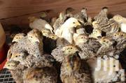 Healthy Quail Chicks | Other Animals for sale in Eastern Region, Lower Manya Krobo