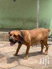 Young Female Purebred Boerboel | Dogs & Puppies for sale in Greater Accra, East Legon