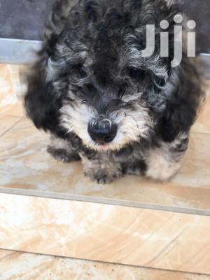 Baby Male Mixed Breed Maltipoo
