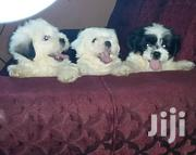 Baby Female Purebred Poodle | Dogs & Puppies for sale in Greater Accra, Labadi-Aborm