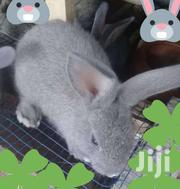 Bunnies One Months Available For Sale | Livestock & Poultry for sale in Central Region, Awutu-Senya