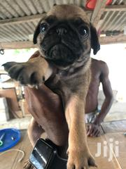 Young Male Purebred Pug | Dogs & Puppies for sale in Greater Accra, Ga South Municipal
