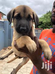 Baby Female Mixed Breed German Shepherd Dog | Dogs & Puppies for sale in Greater Accra, Avenor Area