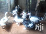Matured Duck For Sale At Kokrobite | Livestock & Poultry for sale in Greater Accra, Ga West Municipal