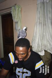 Tamed African Grey Parrot | Birds for sale in Greater Accra, Dansoman