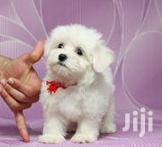 Young Female Purebred Maltese   Dogs & Puppies for sale in Brong Ahafo, Asutifi