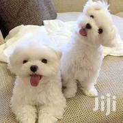 Young Female Purebred Maltese | Dogs & Puppies for sale in Brong Ahafo, Asunafo South