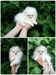 Young Female Purebred Pomeranian | Dogs & Puppies for sale in Brong Ahafo, Atebubu-Amantin