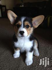 Young Female Purebred Pembroke Welsh Corgi | Dogs & Puppies for sale in Brong Ahafo, Atebubu-Amantin