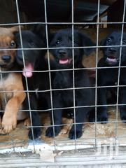 Baby Male Mixed Breed German Shepherd Dog | Dogs & Puppies for sale in Ashanti, Kumasi Metropolitan