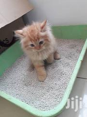 Baby Female Purebred Persian | Cats & Kittens for sale in Greater Accra, Accra Metropolitan