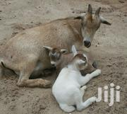 Goats With Kids For Sale | Livestock & Poultry for sale in Greater Accra, Achimota