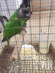 Talking Parrot Going for a Cool Prize | Birds for sale in Greater Accra, Adenta Municipal