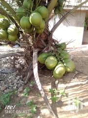 Hybrid Coconit Seedlings For Sale | Feeds, Supplements & Seeds for sale in Greater Accra, Achimota