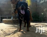 Adult Male Purebred Rottweiler | Dogs & Puppies for sale in Central Region, Awutu-Senya