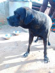 Adult Male Purebred Boerboel | Dogs & Puppies for sale in Central Region, Awutu-Senya
