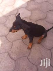 Mixed Breed Dobberman | Dogs & Puppies for sale in Greater Accra, Kwashieman